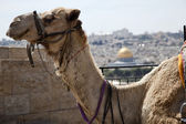 Camel & Dome of the Rock — Stock Photo