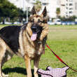 German Shepherd Dog with Piggy Toy at the Park — Stock Photo #22470939
