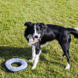 Border Collie Dog with Pet Toy on Lawn — Stock Photo #22471015