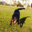 Stock Photo: Labrador Fetching Dog Chew Toy at Park