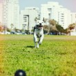 Pitbull Running to Dog Toy on Park Grass Cross Process — Stock Photo #22475973