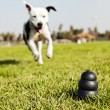 Running to Dog Toy on Park Grass - Monochrome — Stock Photo