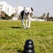 Stock Photo: Pitbull Running Towards Dog Chew Toy at Park