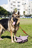 German Shepherd Dog with Piggy Toy at the Park — Stockfoto