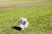Toy Poodle Running in the Park — Stock Photo