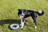 Border Collie Dog with Pet Toy on Lawn — Stock Photo