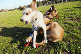 Two Dogs Playing in Park — Stock Photo