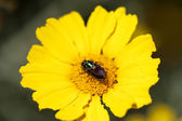 Beetles on Crown Daisy — Stock Photo