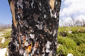 Burnt Tree Trunk in the Wild — Stock Photo