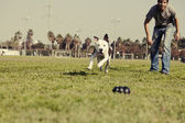 Pitbull Running after Dog Chew Toy Vintage — Zdjęcie stockowe