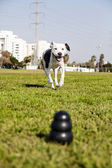 Pitbull Running Towards Dog Chew Toy at the Park — Stock Photo