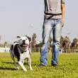 Running Pitbull with Dog Owner at the Park — Stock Photo #23023522