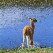 Llama Cub by the Water — Stock Photo