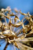 Macro appassita lily of the nilo — Foto Stock