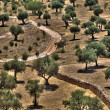 Olive Trees Grove — Stock Photo #23033042
