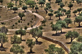 Olive Trees Grove — Stock Photo