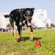 Beauceron Australian Shepherd Running after Dog Chew Toy — Stock Photo #23188290