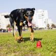 pastor australiano Beauceron corriendo detrás de perro de juguete — Foto de Stock
