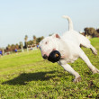 Bull Terrier Running in Park with Toy — Stock Photo #23188844