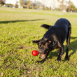 Labrador Fetching Dog Chew Toy at Park - Stock Photo