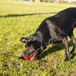 Labrador Fetching Dog Chew Toy at Park — Stock Photo
