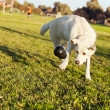 Labrador Fetching Chew Toy in Park — Stock Photo