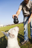 Bull Terrier About to Chew on Toy — Stock Photo