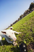 Bull Terrier with Chew Toy in Park — Stock Photo