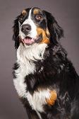 Bernard Sennenhund Studio Portrait — Stock Photo