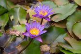 Nelumbo flower — Stock Photo