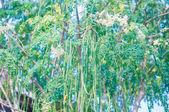 このモリンガの木 — ストック写真