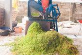 Cortou a folha de tabaco no processo de secagem por luz solar — Foto Stock