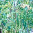 moringa tree — Stock Photo