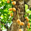 Burmese grape or Rambai on tree — Stock Photo