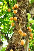 Raisin birman ou rambai sur arbre — Photo