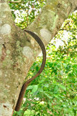 Rusty Scythe on Branch tree in farm — Stock Photo