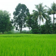 Rice paddy farm in Thailand — Stock Photo #27696223
