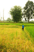 Fazendeiro trabalhando na fazenda de arroz da tailândia — Fotografia Stock