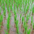 Rice field show agriculture background — Stock Photo #30987169