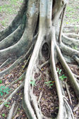 Roots tree in park — Stock Photo