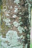 Lichen on bark tree — Stock Photo