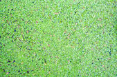 Closed up duckweed on water surface — Stock Photo