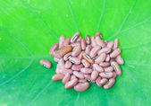 Closed up red beans on green leaf — Stock Photo