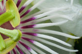 Closed up Fetid passionflower — Stock Photo