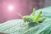 Bright green grasshopper — Stock Photo
