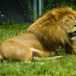 Stock Photo: Adult lion
