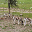 Zebra grazing in the reserve — Stock Photo