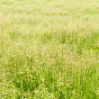 Field grass — Stock Photo
