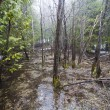 Flooded forest after rain - Stock Photo