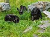 Three monkeys — Stock Photo